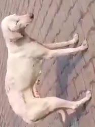 Dog Is Sleeping Funny Video